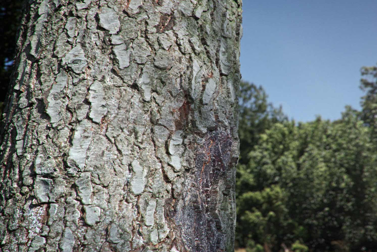 pine tree bark texture home of textures for 3d artists