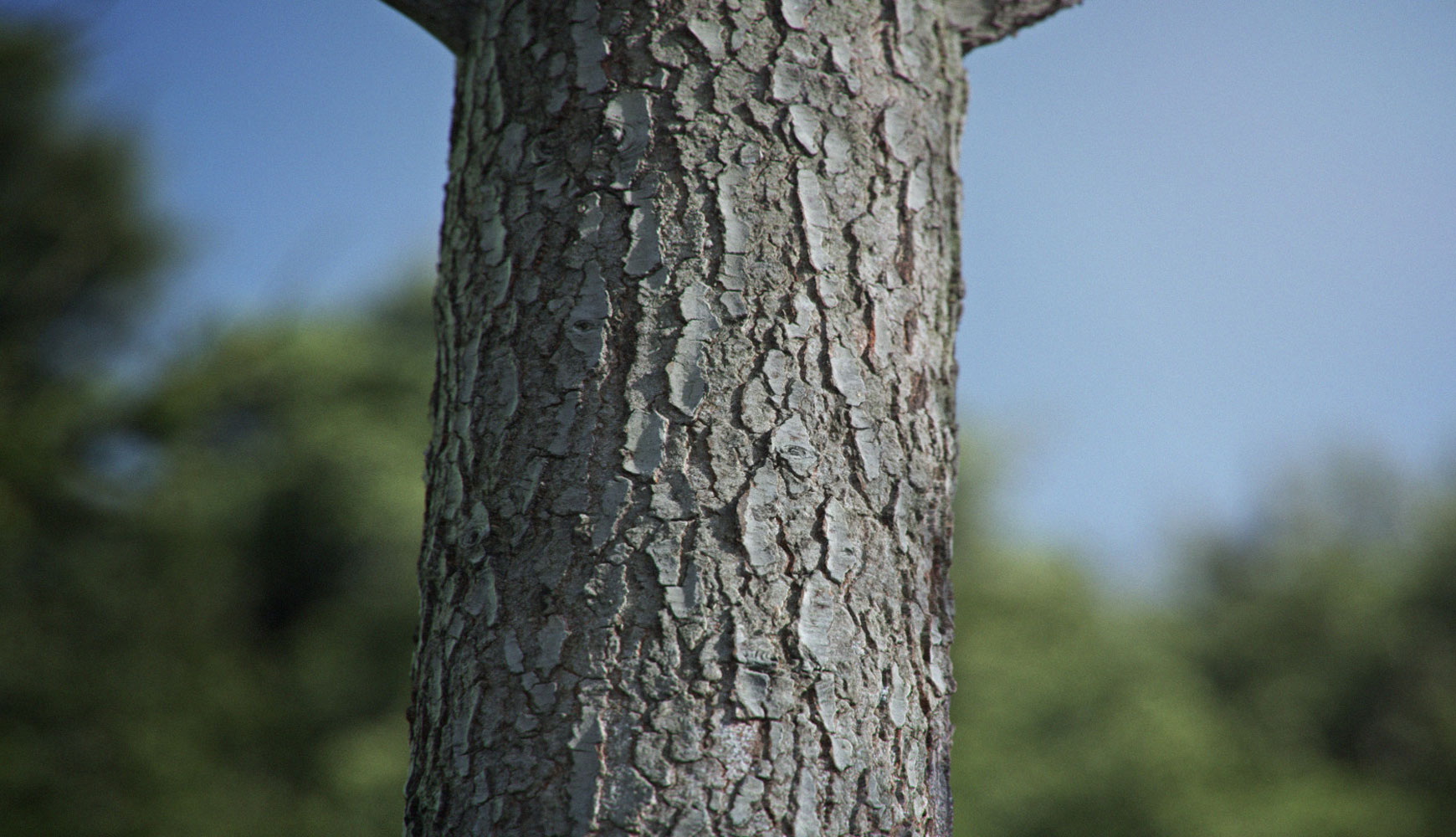Pine tree bark texture home of textures for 3d artists for Tree trunk uses